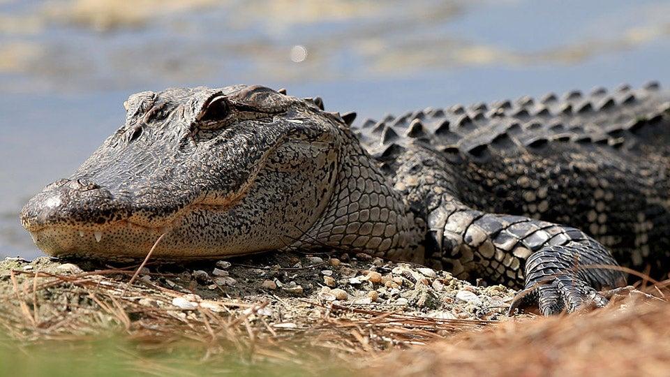 giant-alligator-florida.jpg