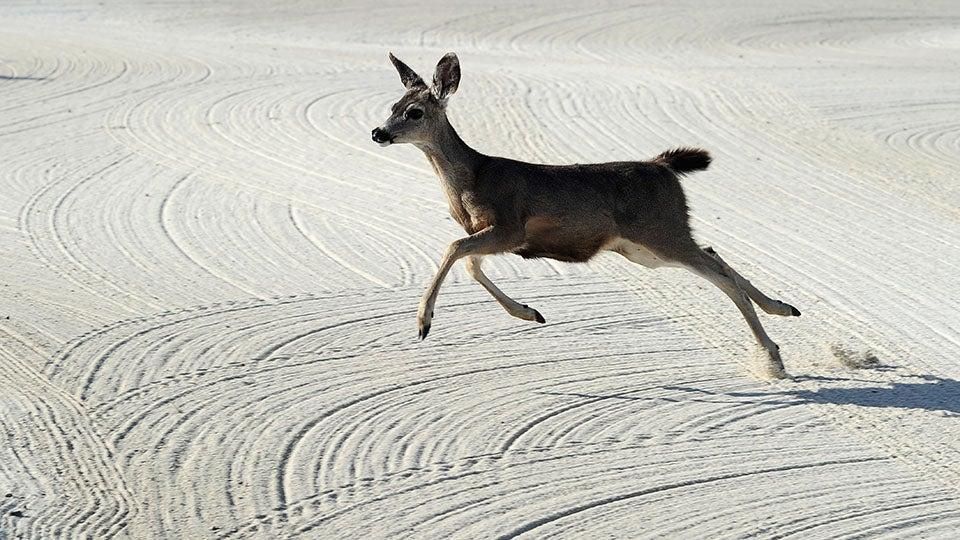 golf deer.jpg