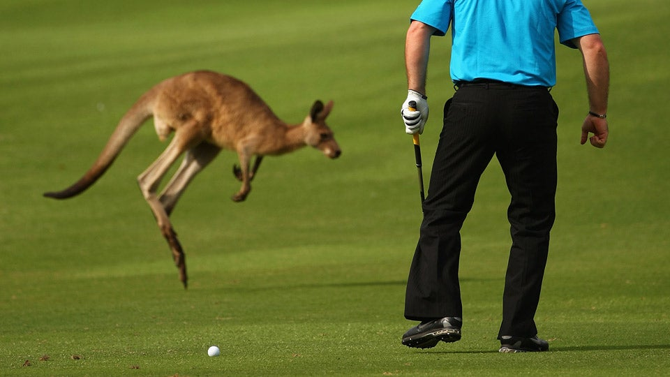 kangaroo-new.jpg