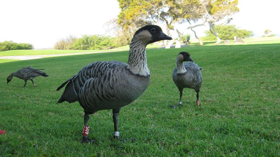 nene-goose.jpg
