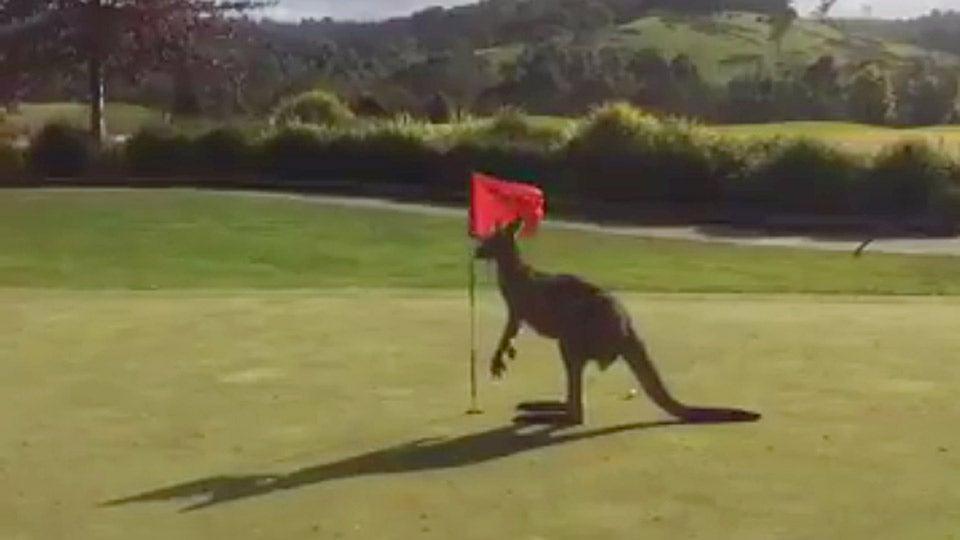 new-kangaroo-golf.jpg