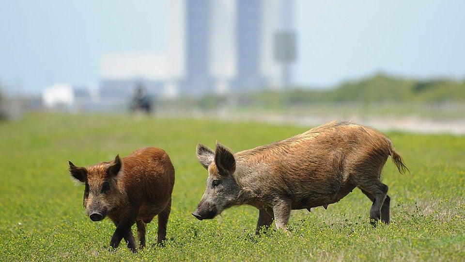 wild-pigs.jpg
