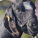 goat caddie
