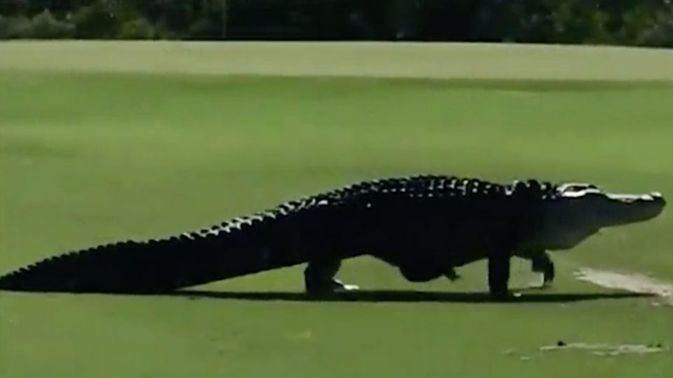 Watch Giant Alligator Like A Freaking Dinosaur Strolls Across Fairway Golf