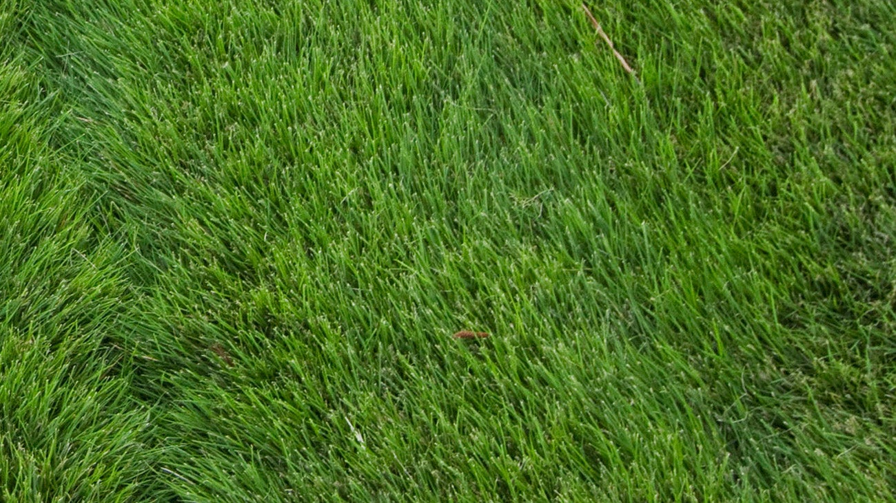Zoysia grass is lush and lovely, providing a perfect lie most all the time.