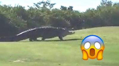 Run for the hills: Viral monster alligator 'Chubbs' is back