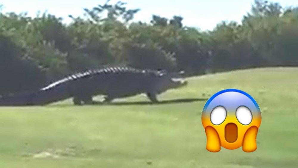 Run for the hills: Viral monster alligator 'Chubbs' is back - Golf Cartoon Alligator Playing Golf on cartoon stay in shape, cartoon body of water, goodbye cruel world cartoon golf, sea animal headcovers golf,