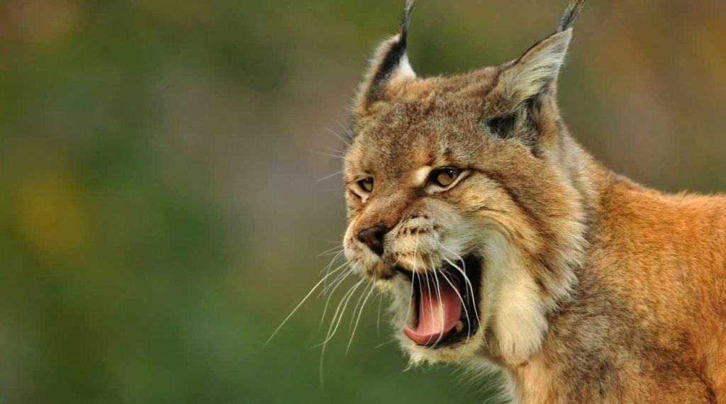 Bobcat attack connecticut golf