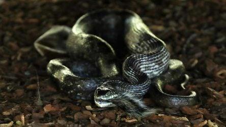 augusta national snake