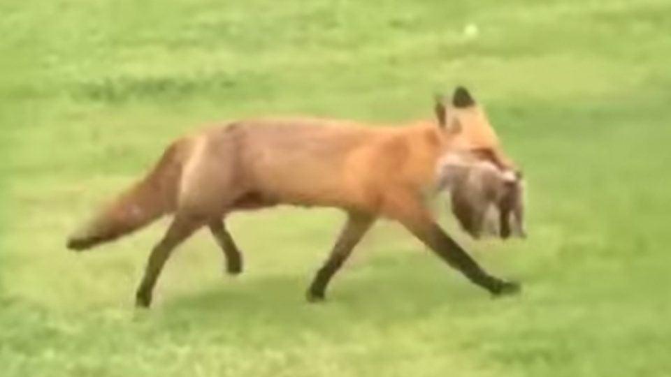 A red fox runs across the fairway.