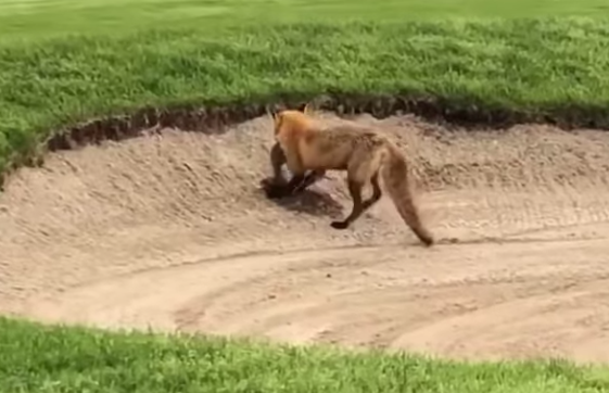 A red fox buries its kill in a bunker at Flanders Golf Course.