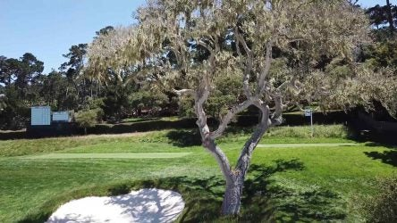Picture of a tree at Pebble Beach