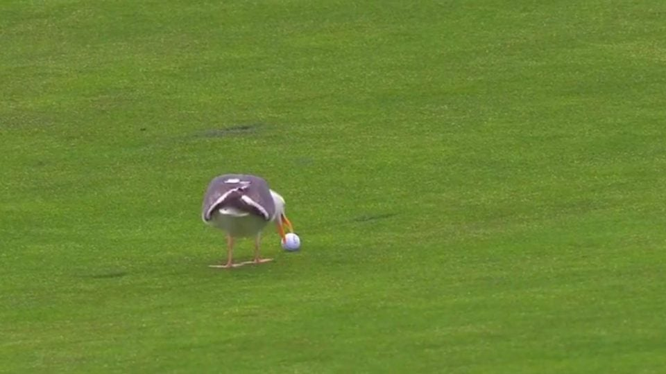Seagull tries picks up Phil Mickelson's golf ball at 2019 U.S. Open
