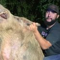 Massive hog captured at golf course, Lone Star Trapping