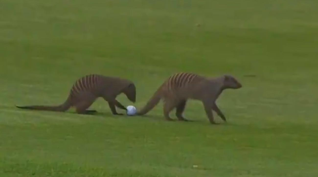 A pair of mongooses mess with a pro's golf ball during the Nedbank Golf Challenge in South Africa.