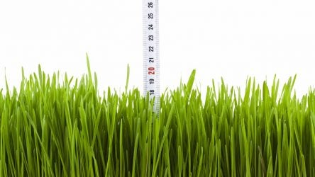 Measuring showing the growth of a plant of wheat grass.