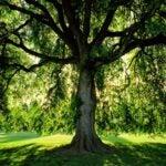 lawn tree