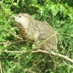A woodchuck in a tree.