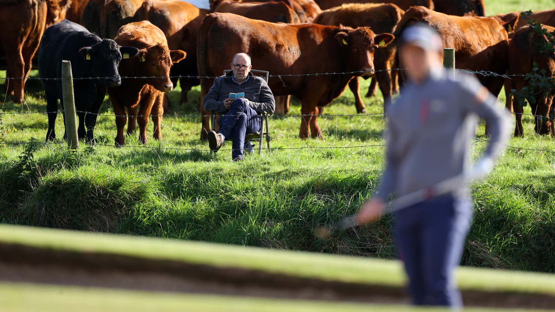 a man watches golf with cows behind him