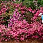azaleas at masters