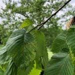 cicadas at Muirfield Village