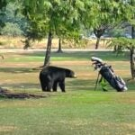 Bear on golf course