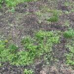 spotty lawn