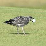 A seagull grabbed Madelene Sagstrom's golf ball at the AIG Women's Open.